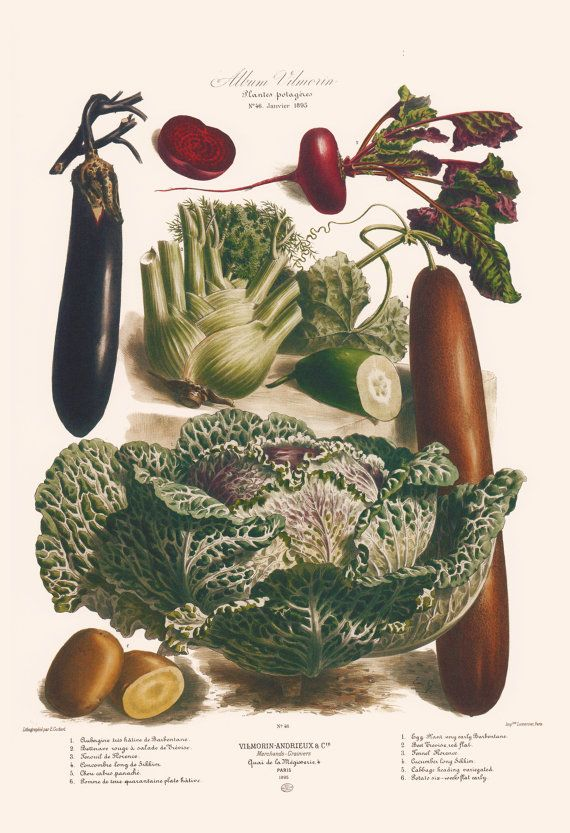Antique Kitchen Print Vintage Vegetable Print Antique Food Lover Gift Professional Reproduction Restaurant Poster Vegetable Prints Vegetable Illustration Botanical Illustration