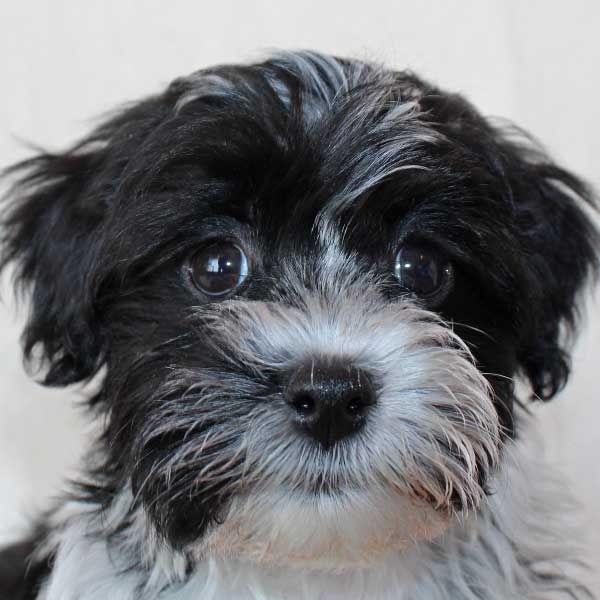 Havanese Puppy for Sale Puppy Pinterest Havanese puppies