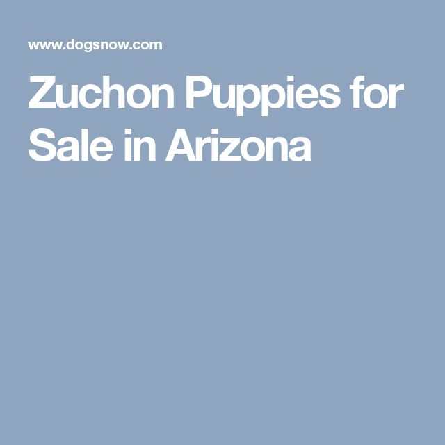 Zuchon Puppies for Sale in Arizona