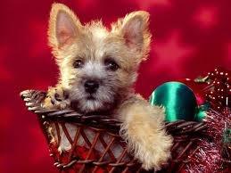 cairn terrier pup -  kerst hond  - Christmas dog
