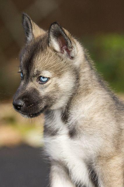 who knows an agouti husky breeder for me