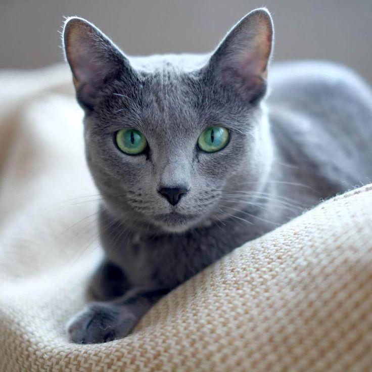ojos gato azul ruso
