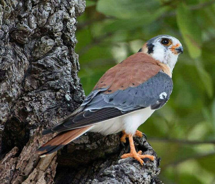 Amerikaanse torenvalk - American Kestrel (Falco sparverius) on Jamaica by Kevin B. Agar.