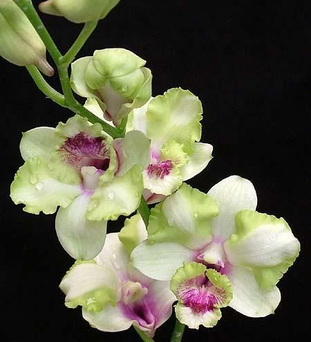 Orchids Plant -Fertilizer- Pots-Cutflower for sale at Valluvally
