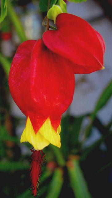 [Abutilon megapotamicum] | BANDERA BELGA/ Arbusto ornamental… | Flickr
