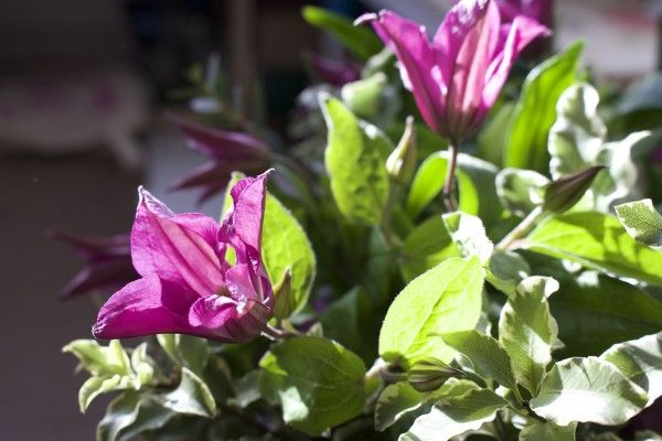 Purple Clematis in the sun, paired with Pittosporum to create some lovely table flowers