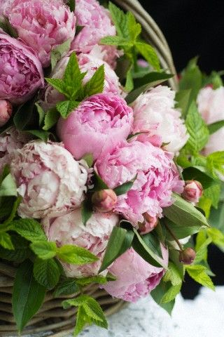 Paeonia lactifolia, peonies Sarah Bernhardt and Fairy's Petticoat in basket with mint leaves