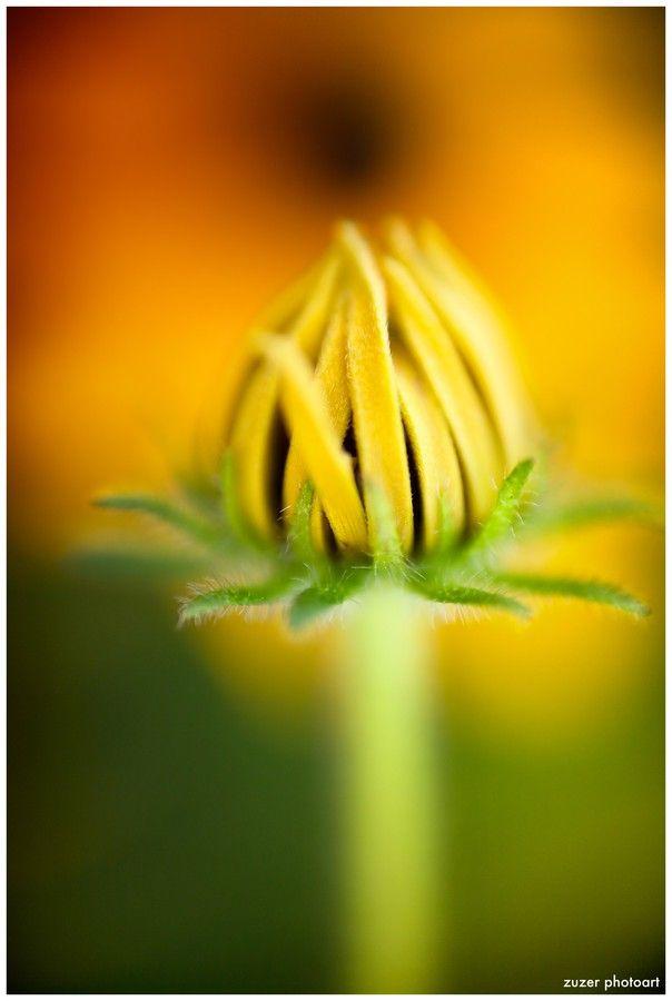 Sunflower by Zuzer Cofie on 500px