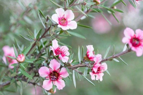 Virágba borult teafa