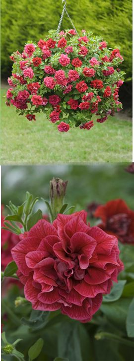 Surfinia+%26+Trailing+Petunias+%27Tumbelina+Inga%27+%2D+DELIVERY+%2D+MAY+ONWARDS