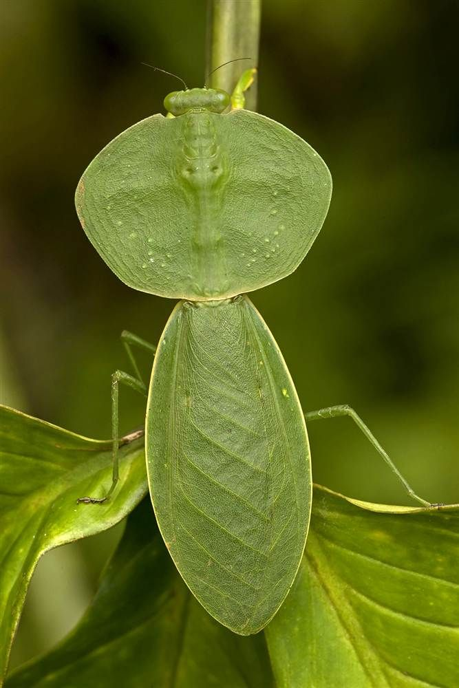 In a Costa Rican topical rainforest, a hooded mantis has the same shape as a leaf. - photo from Caters News Agency