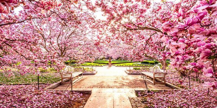 C'è un posto dove i ciliegi fioriscono a novembre, nel pieno dell'autunno. E' questa la straordinaria magia regalata da Shillong, nel Meghalaya: una municipalità indiana che con otto mesi di ritardo (