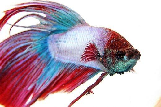 Beta Balığı  Beta Fish