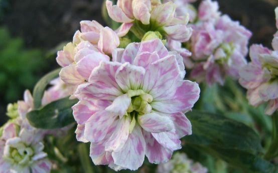 #Micsunica este o #planta de gradina ce poate fi folosita in borduri mixte, insa se adapteaza bine si daca este cultivata in ghivece sau jardiniere. Este si o foarte frumoasa planta de interior, iar #florile sale, taiate, se pastreaza bine in apa.