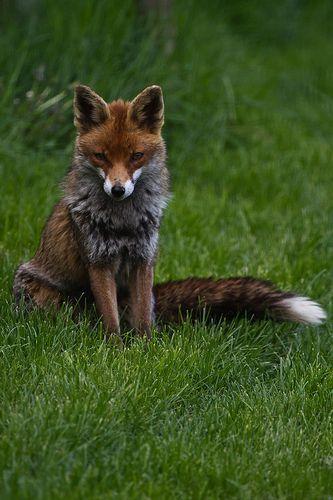 fox!!