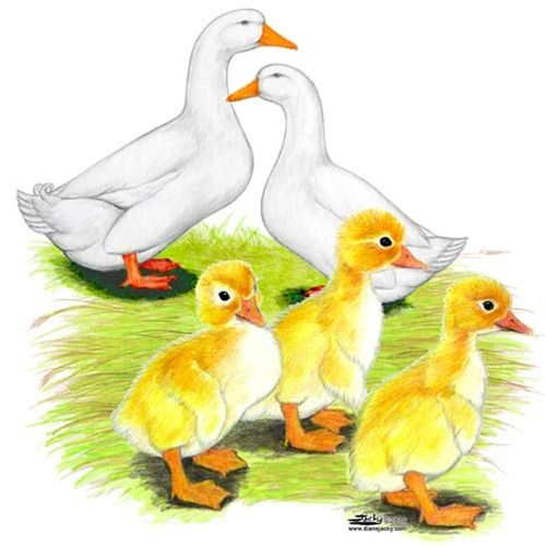 The Pekin Duck - is the most popular farm duck in the United States . In the entire world, the Pekin Duck is more prominently raised than all other breeds of ducks combined. The Chinese were among the first cultures to domesticate Mallard Ducks as a source of food, and the Pekin was eventually developed through years of selective breeding.