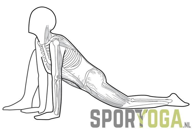 Lunge yogapose anatomy from sportyoga.nl