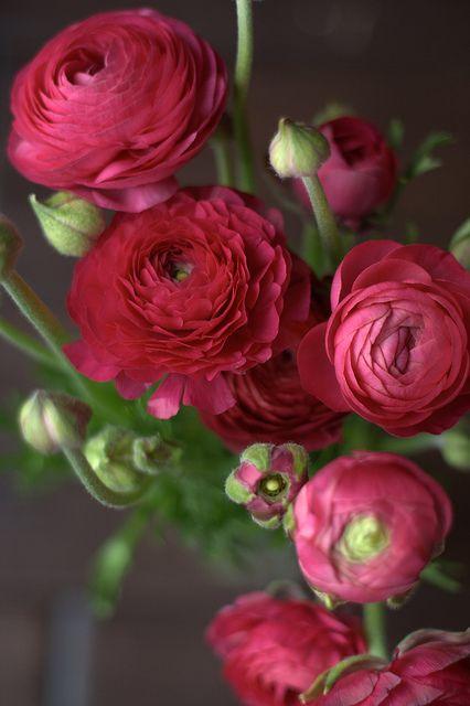 Pink Magenta Ranunculus!: Flowers Gardens, Rose, Magenta Flowers, Magenta Ranunculus, Green Grey, Pink Magenta, Gardens Ranunculus, Pink Ranunculus, Beautiful Flowers