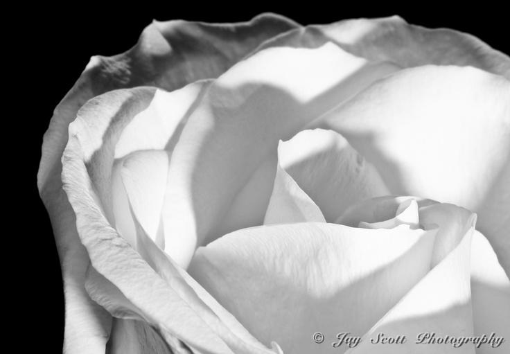 White Rose by Jay Scott, via 500px