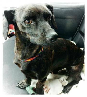 Poppy! Akron, OH- $247 Meet Poppy! He is Dachshund, and is about 2 years old.  Just rescued from a high kill shelter. Will be available after Jan 3, 2017.  More information coming soon!
