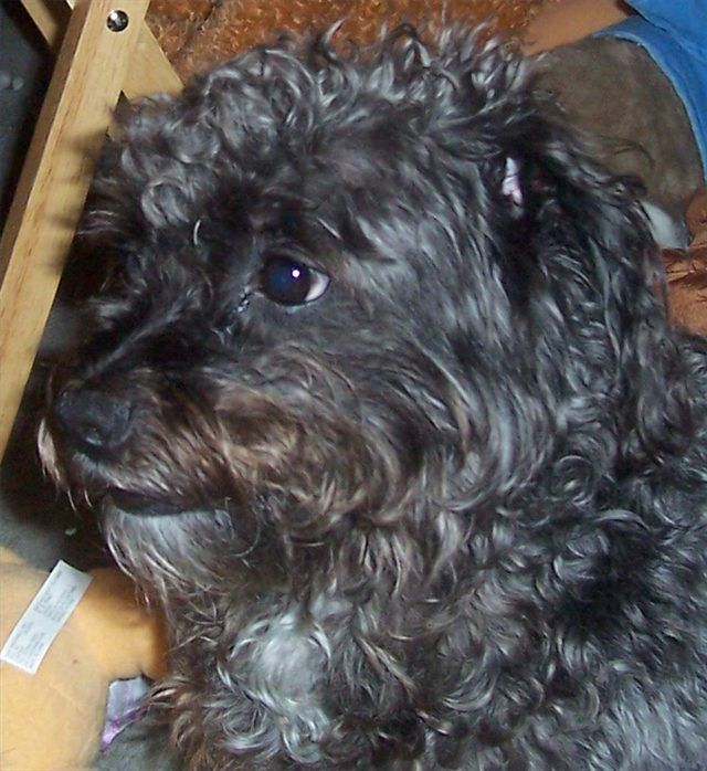 How To Care For A Schnoodle Dog Cuteness Schnoodle Schnoodle Dog Cute Dogs