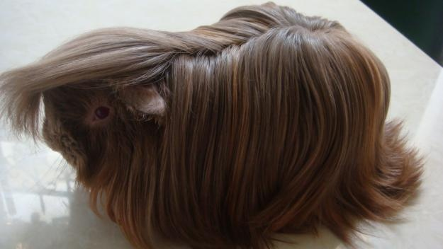 Guinea Pig...seriously! So cute (I thought this was a wig at first!) lol