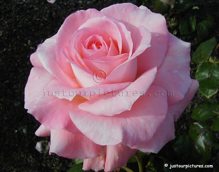 Pink Rose picture -Just our Pictures of Roses