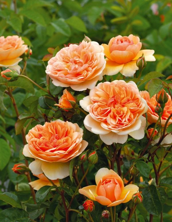 Ten Most Fragrant English Roses to beautify your gardens this year! from A Hen's Nest