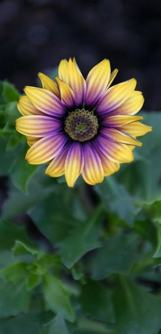African Daisy. Source: http://studioview.tumblr.com/post/81086776062/via-things-i-love-bee-skep-african-daisy