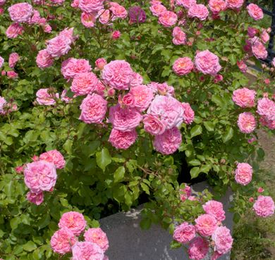 Sweet Drift Rose has clusters of clear pink double flowers sit atop dark green glossy foliage. Abundant, continuous flowering and exceptional disease resistance makes this a perfect choice for use along pathways, hillsides or at the front of a border.