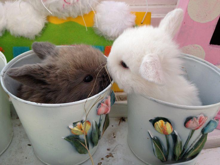 My holland lop bunnies