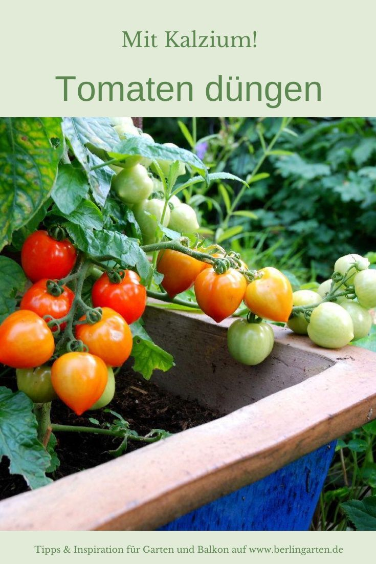 Tomaten Richtig Dungen Berlingarten In 2020 Tomaten Im Topf Tomaten Garten Tomaten Pflanzen
