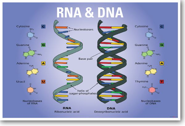 DNA & RNA Biology NEW CLASSROOM BIOLOGY SCIENCE POSTER: would make a great handout.