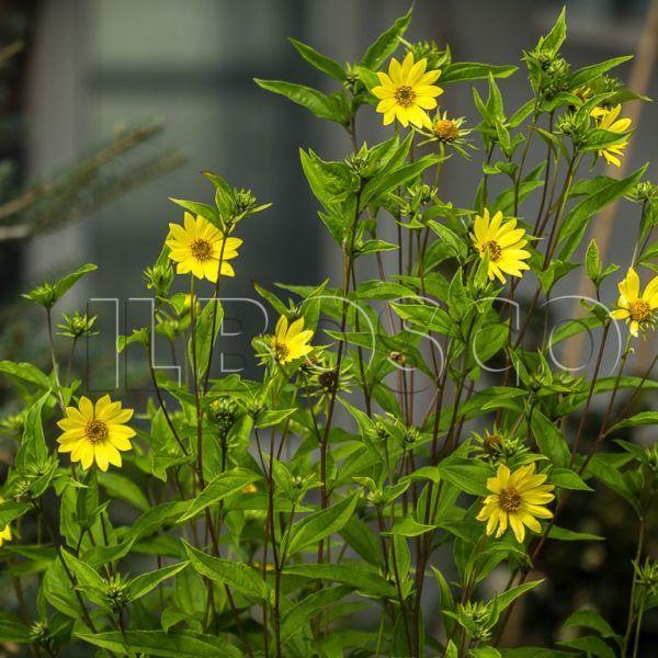 Растение подсолнечник мелкоголовчатый Лемон Квин (Helianthus microcephalus Lemon Queen)