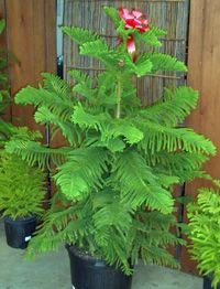 Norfolk Island Pine growing instructions