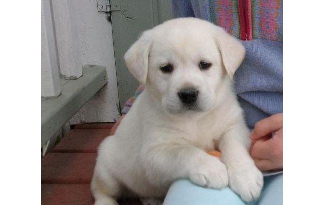 labrador labrados dorados y labrador blanco cachorros  