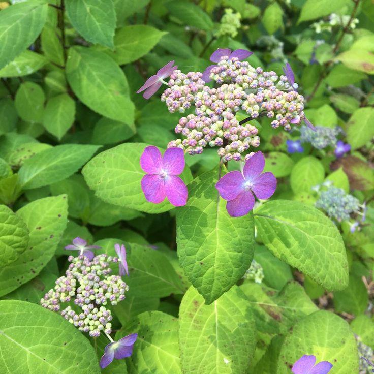 ☆ クロヒメアジサイ ・ んーかわいい♡ ・ #クロヒメアジサイ #黒姫紫陽花 #ヤマアジサイ #花 #flower #flowers #花が好き #花フレンド #花のある暮らし#flowerslovers #flowerstaglam #iggood #花を愛でる #花が好きな人と繋がりたい #park #植物園 http://gelinshop.com/ipost/1520135224033553160/?code=BUYmu6nFCsI