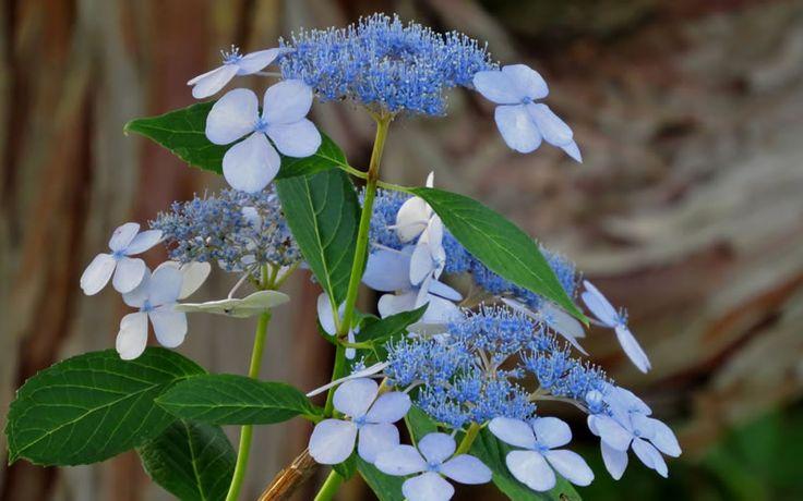 Buy Bluebird Hydrangea For Sale Online From Wilson Bros Gardens