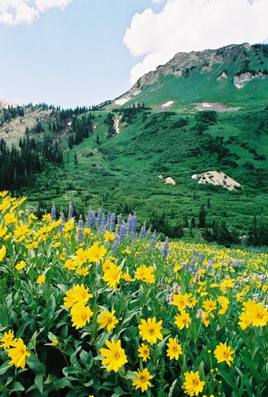 Wildflower walks are commonly held in the Albion Basin of the Little Cottonwood Canyon, Utah