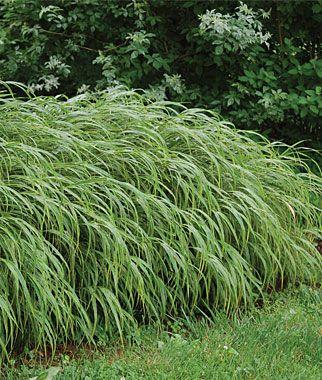 Ornamental grass part sun hakonechloa albo striata dig for Small ornamental grasses for sun