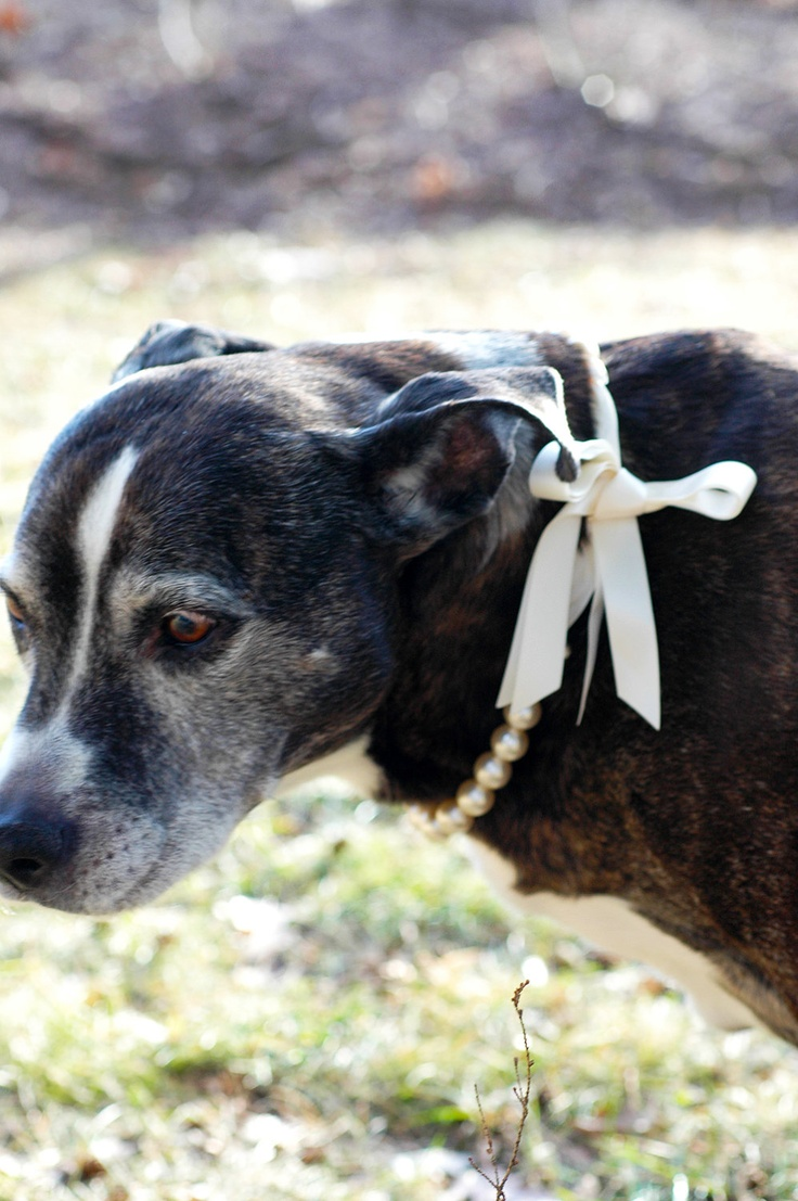 Make your dogs part of wedding: Dog Flower Girl Creme Pearl Necklace w Ribbon Tie. $14.95, via Etsy.