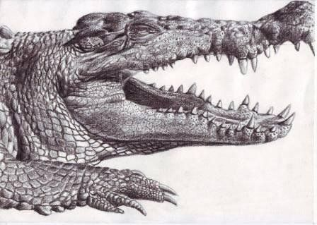 how to draw a alligator face