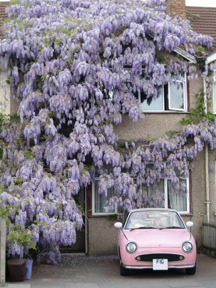 Wisteria and a Nissan Figaro.   Two things I have lusted after for years.  I finally got the wisteria.  I think I might be dreaming a long while before I get anywhere near getting a Figaro to go with it though :(