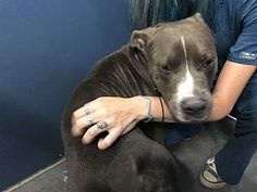 Pit Bull Terrier Mix Dog for adoption in Henderson, North Carolina - Johnny