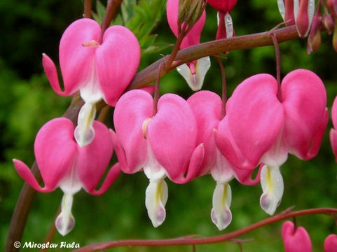 Looking forward to painting some bleeding hearts soon...