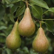 Speculaasparfait met gebakken peer, walnoten en gevulde speculaas