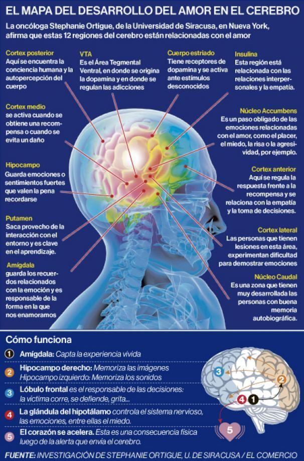 ¿Qué áreas del cerebro están relacionadas con el amor? - Investigación y Desarrollo