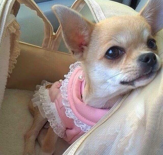 Chihuahua (@chihuahuastagrams) on Instagram