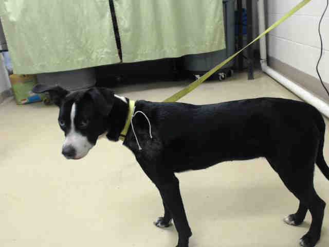 03/18/17- HOUSTON-EXTREMELY URGENT -This DOG - ID#A479743 I am a female, black and white Australian Cattle Dog mix. My age is unknown. I have been at the shelter since Mar 18, 2017. This information was refreshed 55 minutes ago and may not represent all of the animals at the Harris County Public Health and Environmental Services.