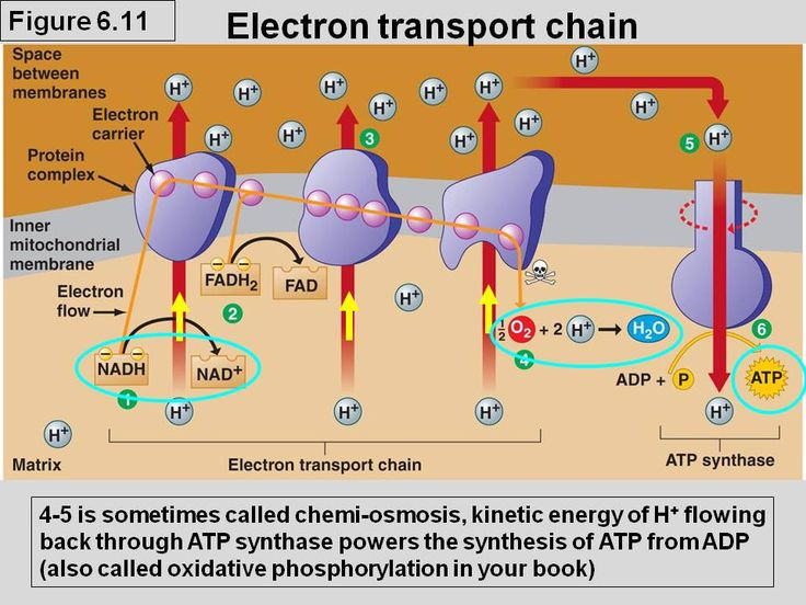 The electron transport chain.